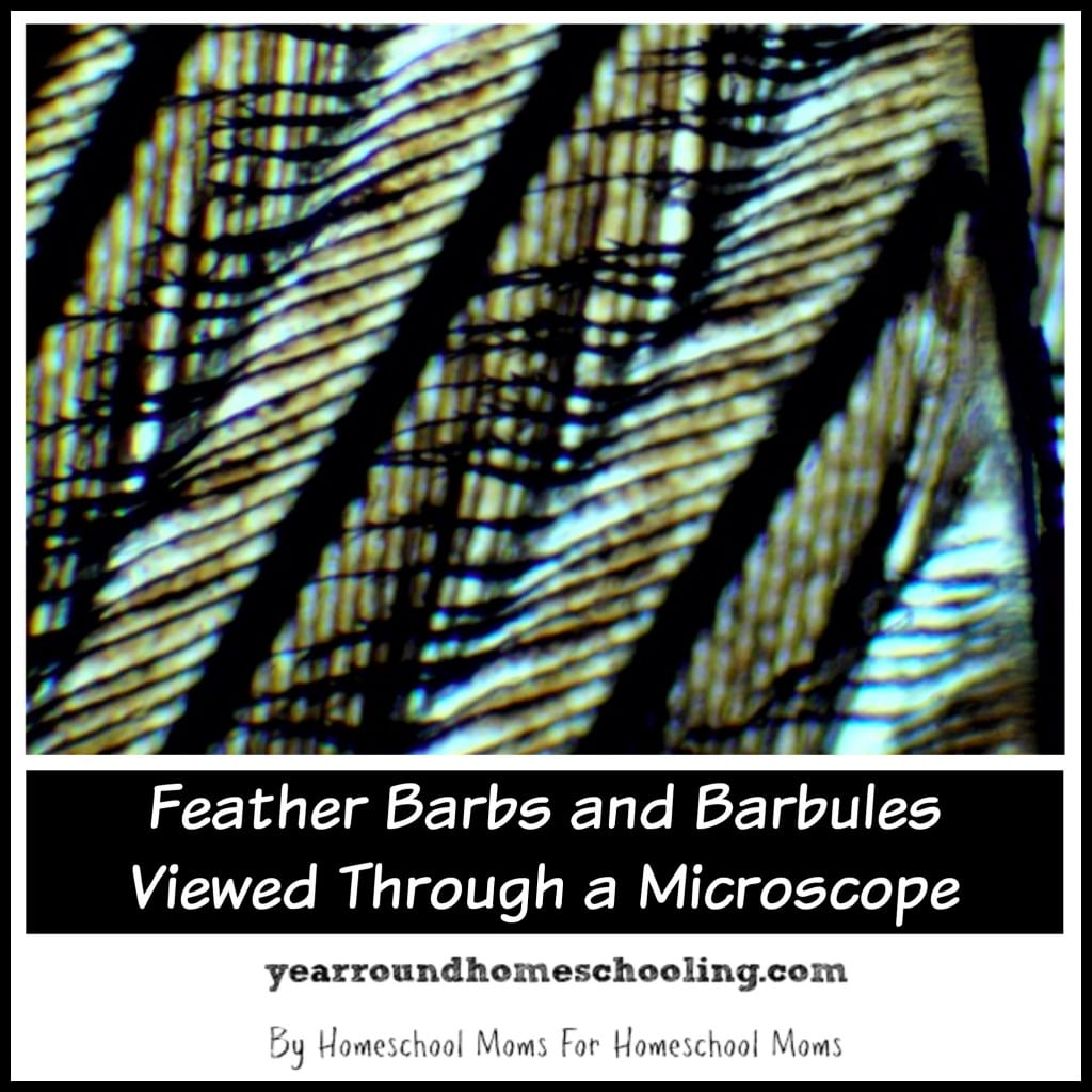 Feather Barbs and Barbules