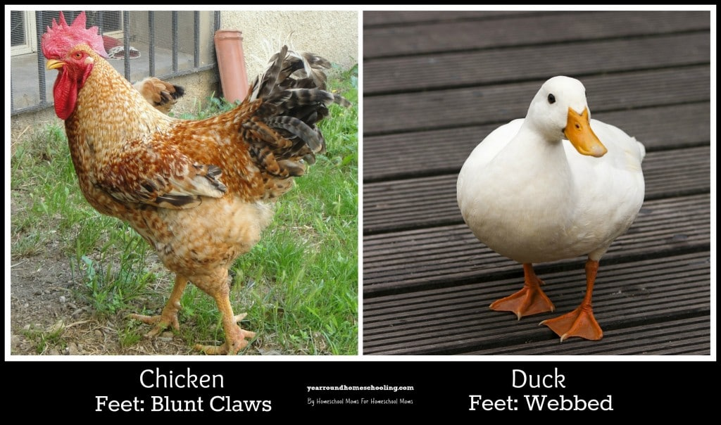 Chicken Versus Duck Feet