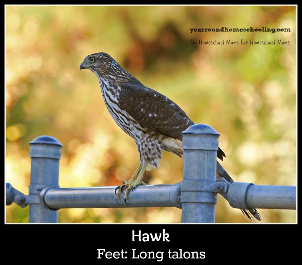 Hawk with talons