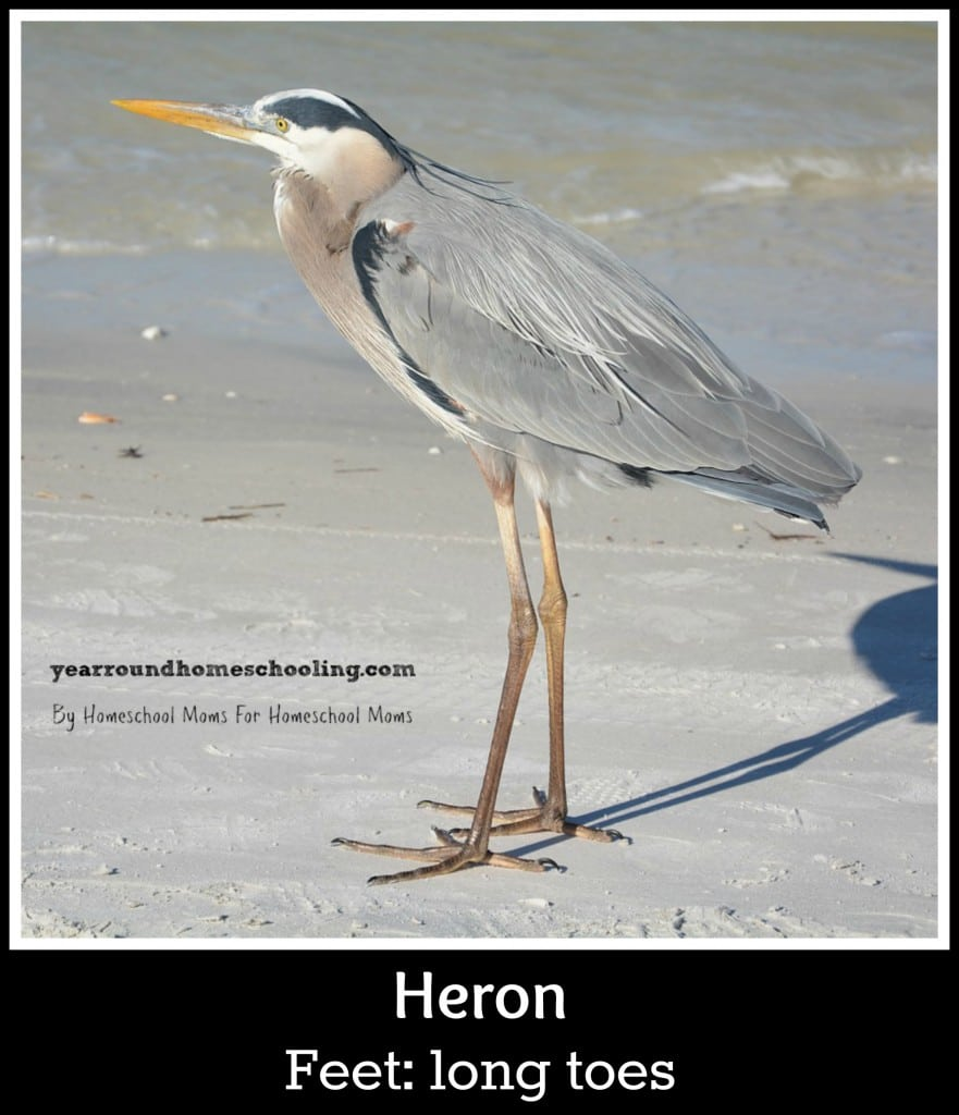 Heron with wading feet