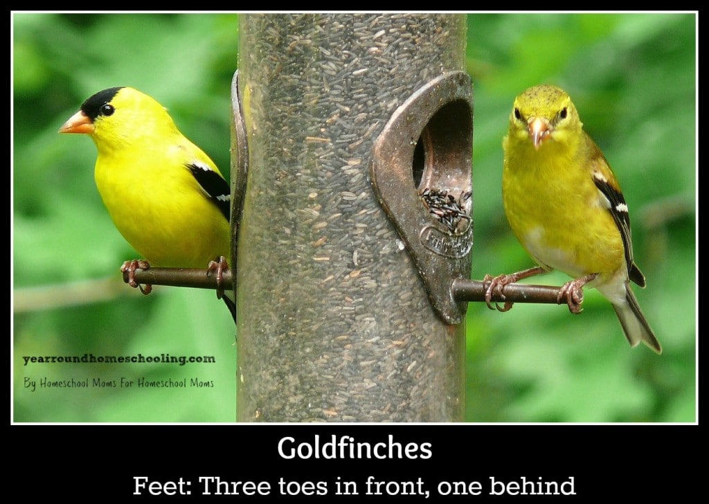 american-goldfinches-613469_1280 (1)