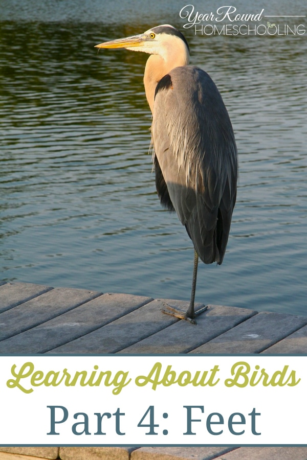 bird unit study, learning about birds, birds' feet, bird nature study, homeschool, homeschooling