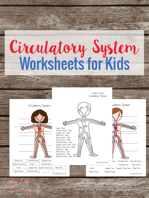 How The Heart Works Worksheet : Free circulatory system worksheets for kids
